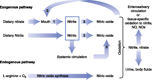 A schematic diagram of the physiologic disposition of nitrate, nitrite